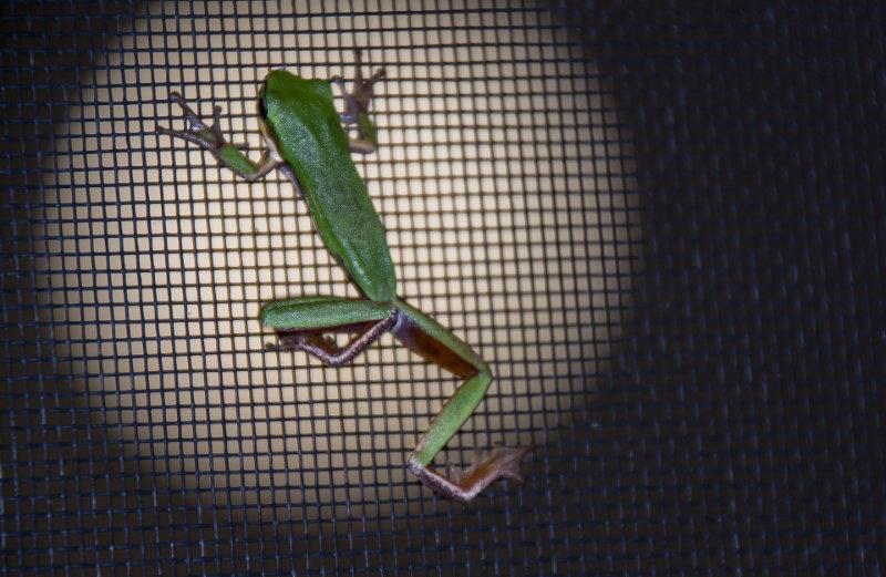 Fliegengitter Frosch dran