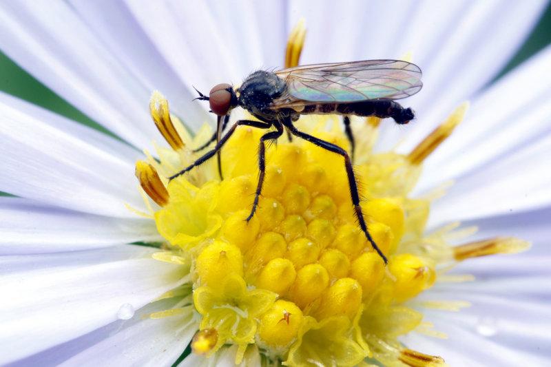 Mücke ernährt sich vom Blütennektar