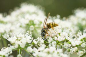 Eine Wespe bestäubt eine Blume.